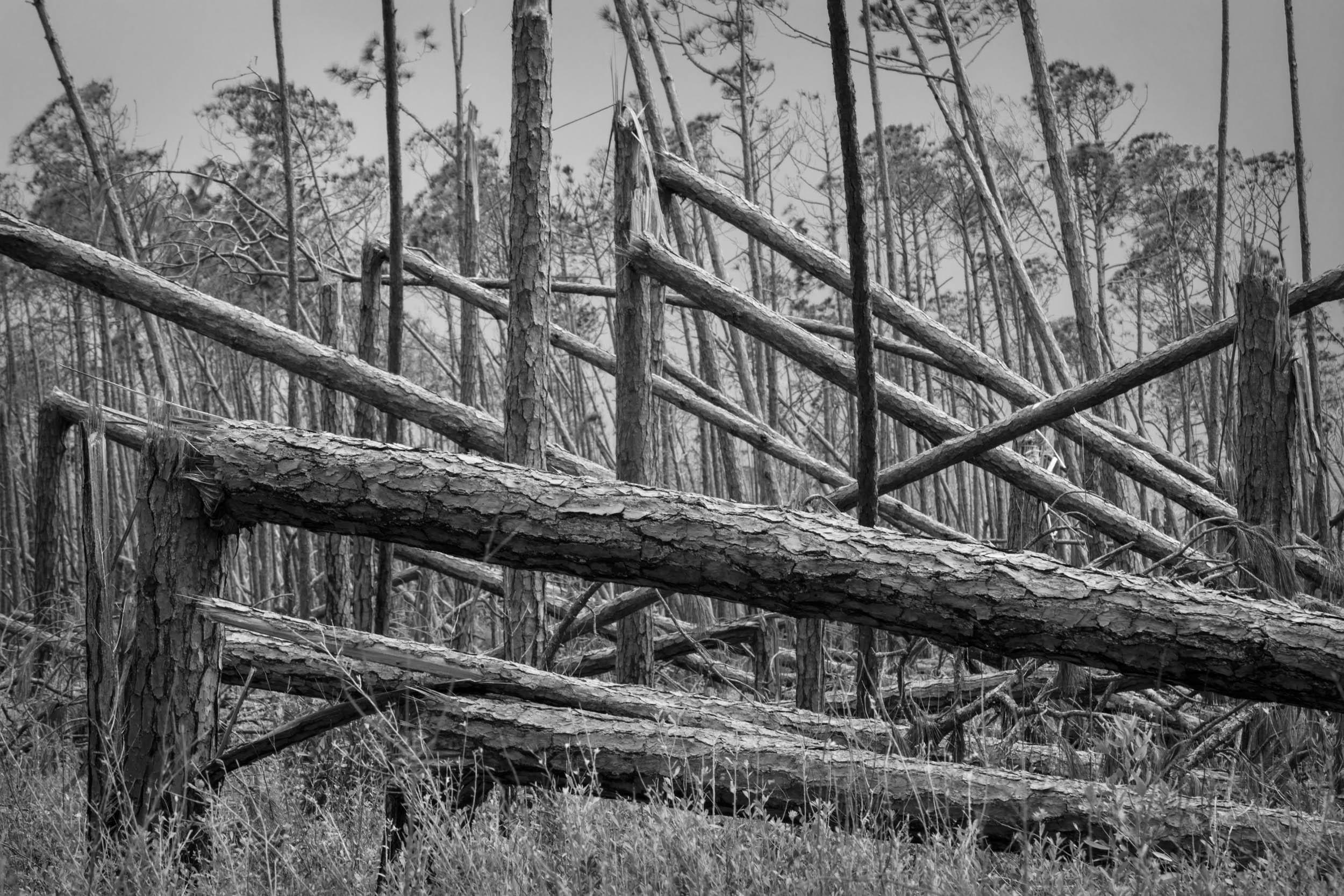 Bent Pines 1
