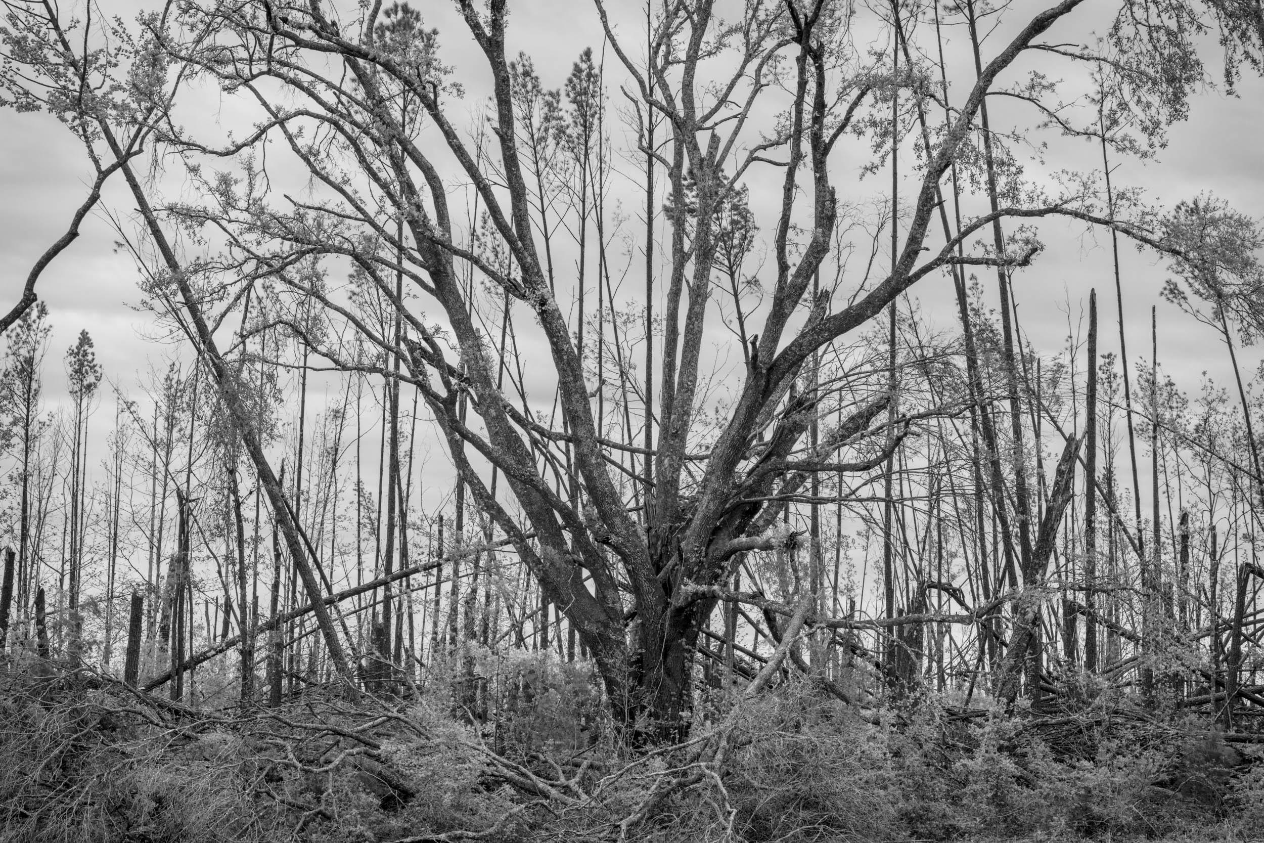 Stripped Live Oak