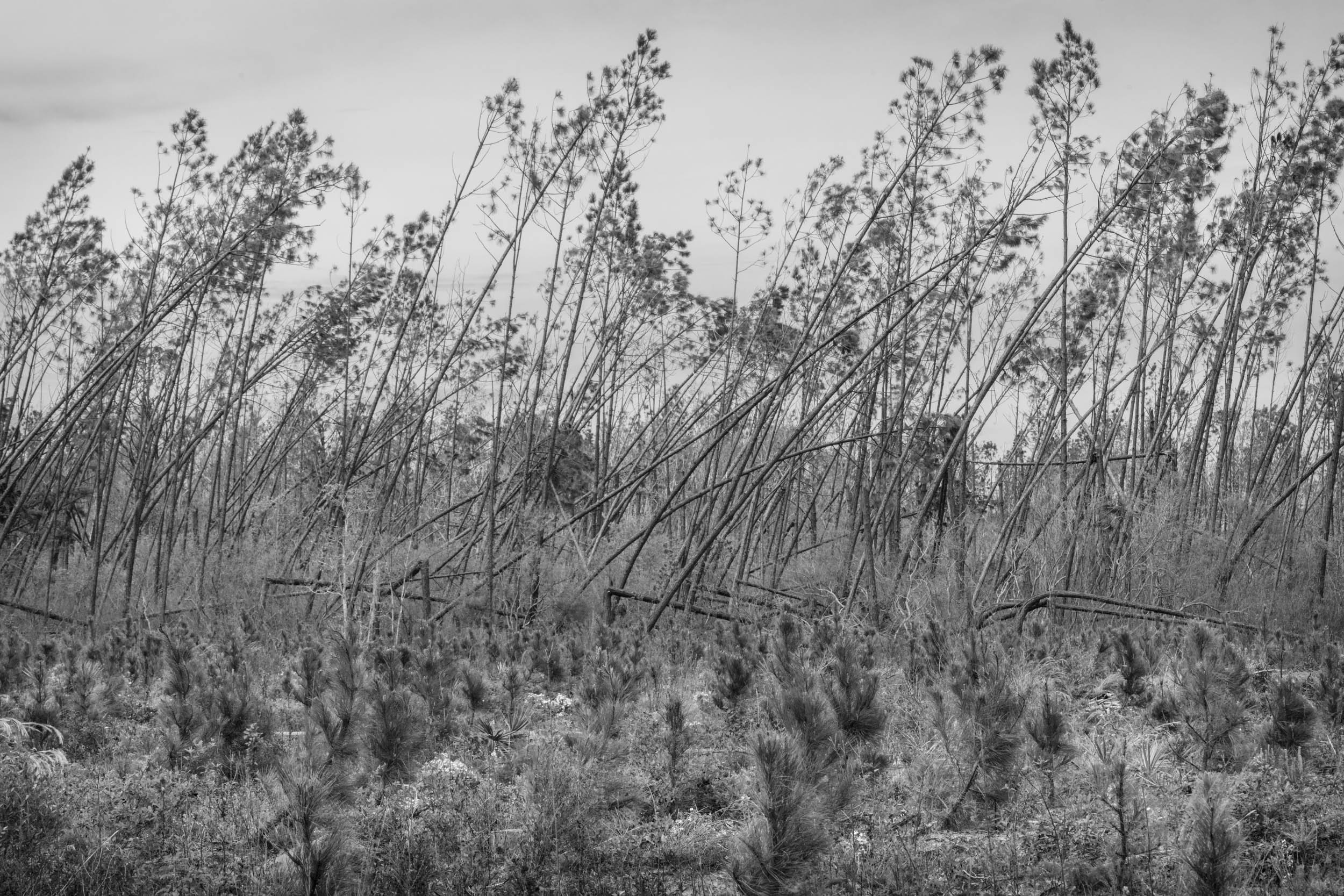 Juvenile Pines