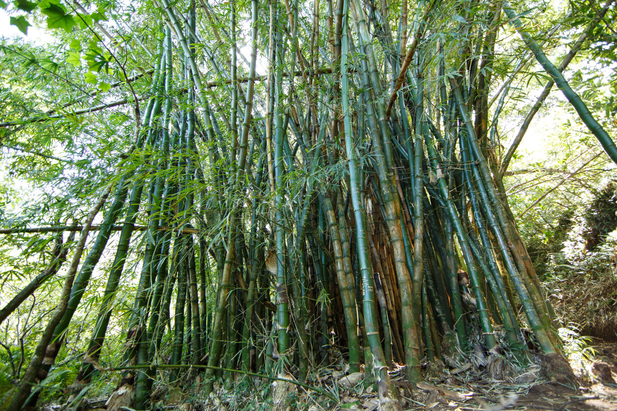 After turning to climb back into Hanakapi'ai Valley from the beach to head to the waterfalls, you'll pass through thickets of towering bamboo like this one.