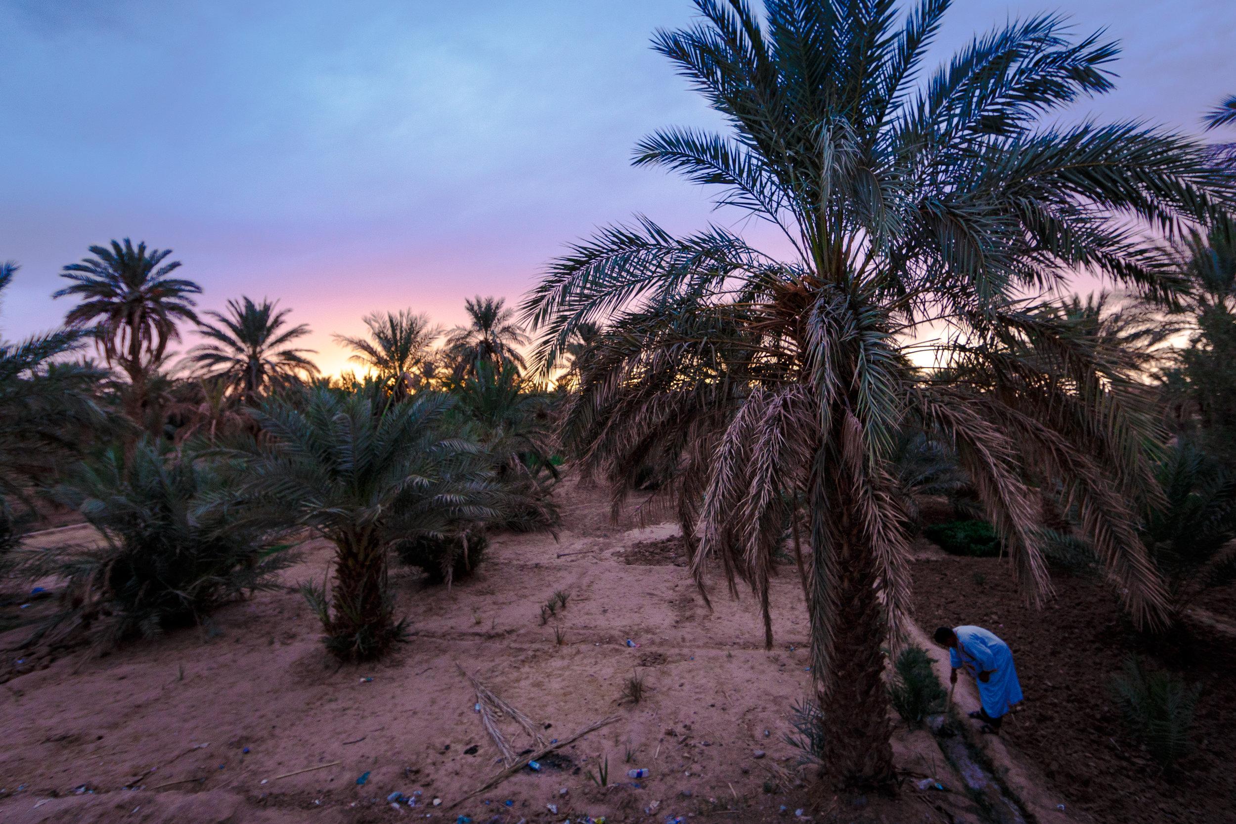 Sun setting on the desert palms of Merzouga.