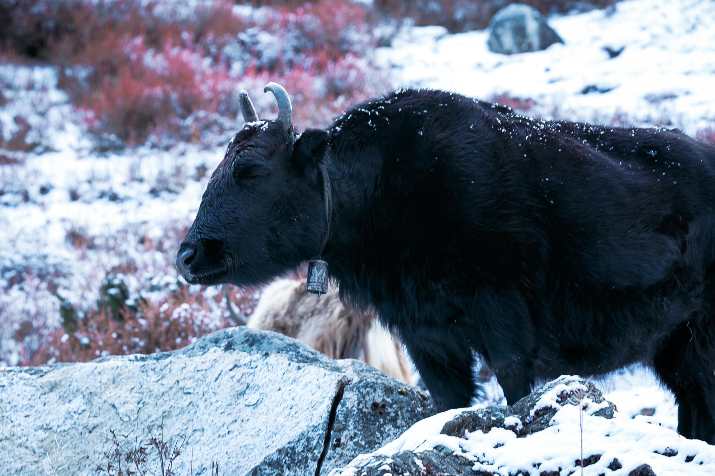A happy yak enjoying the fresh powder snowfall.