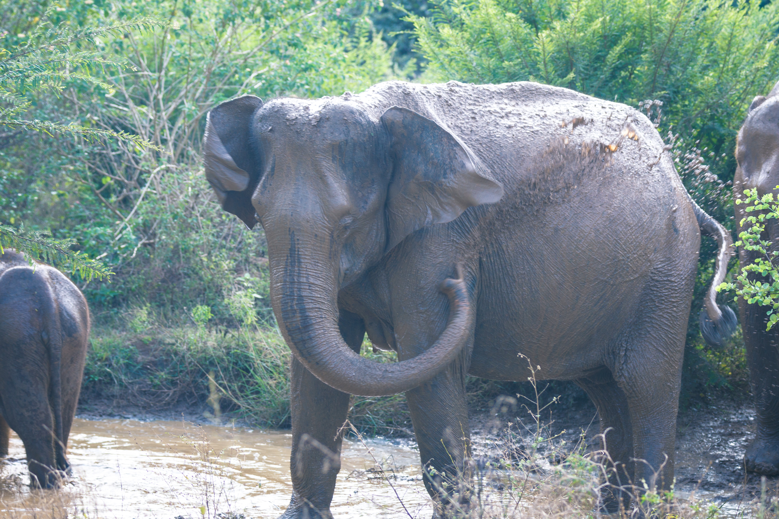 An elephant taking a mud bath at Udawalawe National Park.