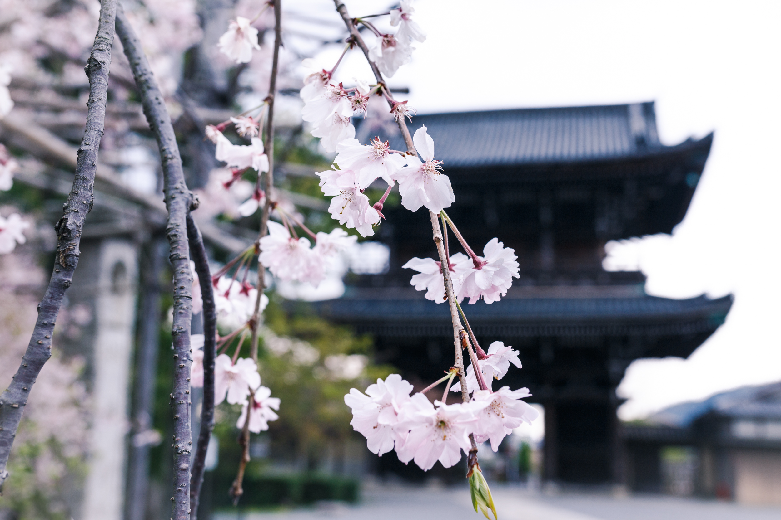 Cherry Blossoms on a Japanese Temple