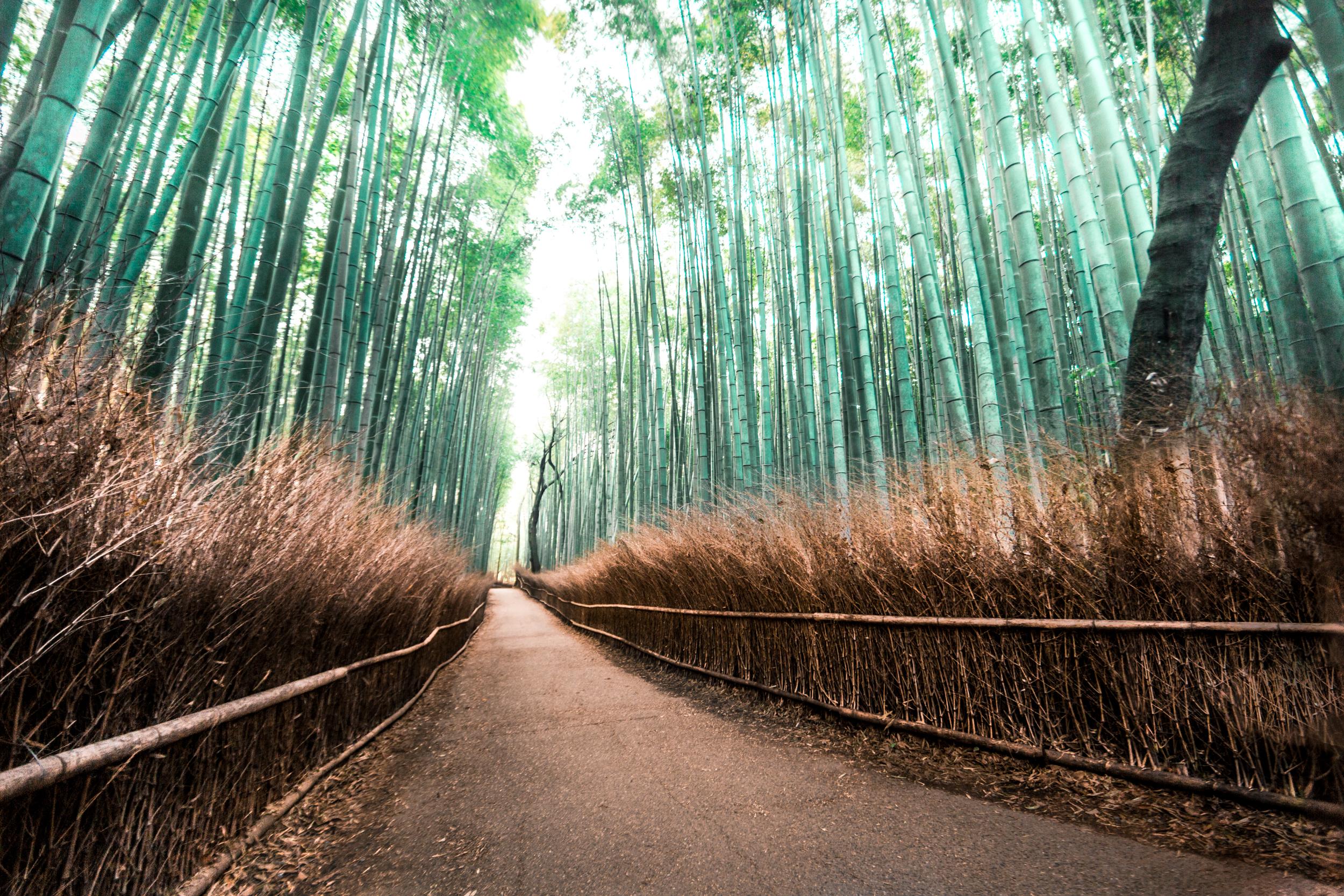 The Arashiyama bamboo grove outside of Kyoto, Japan.