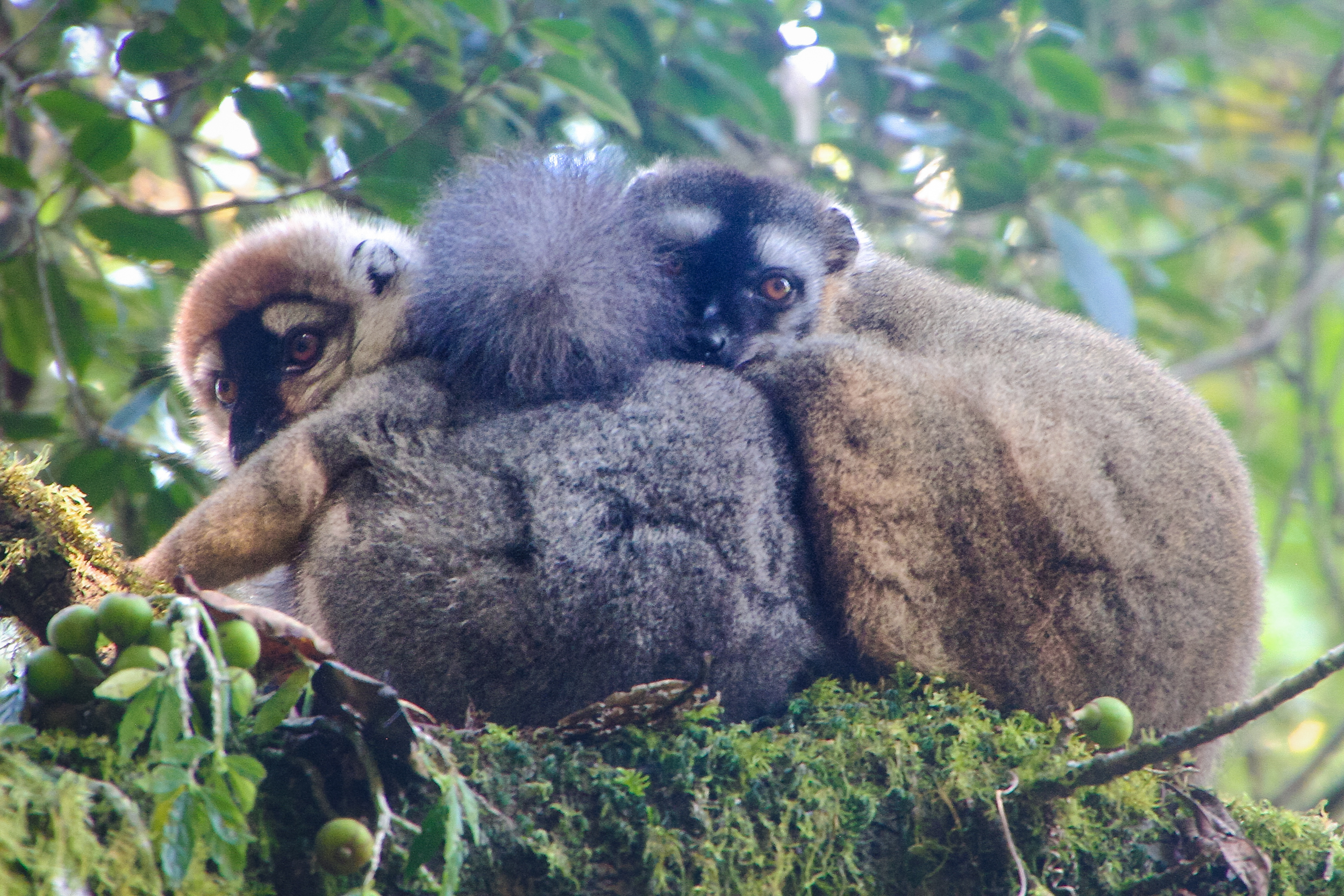 Lemurs in Ranomafana Madagascar