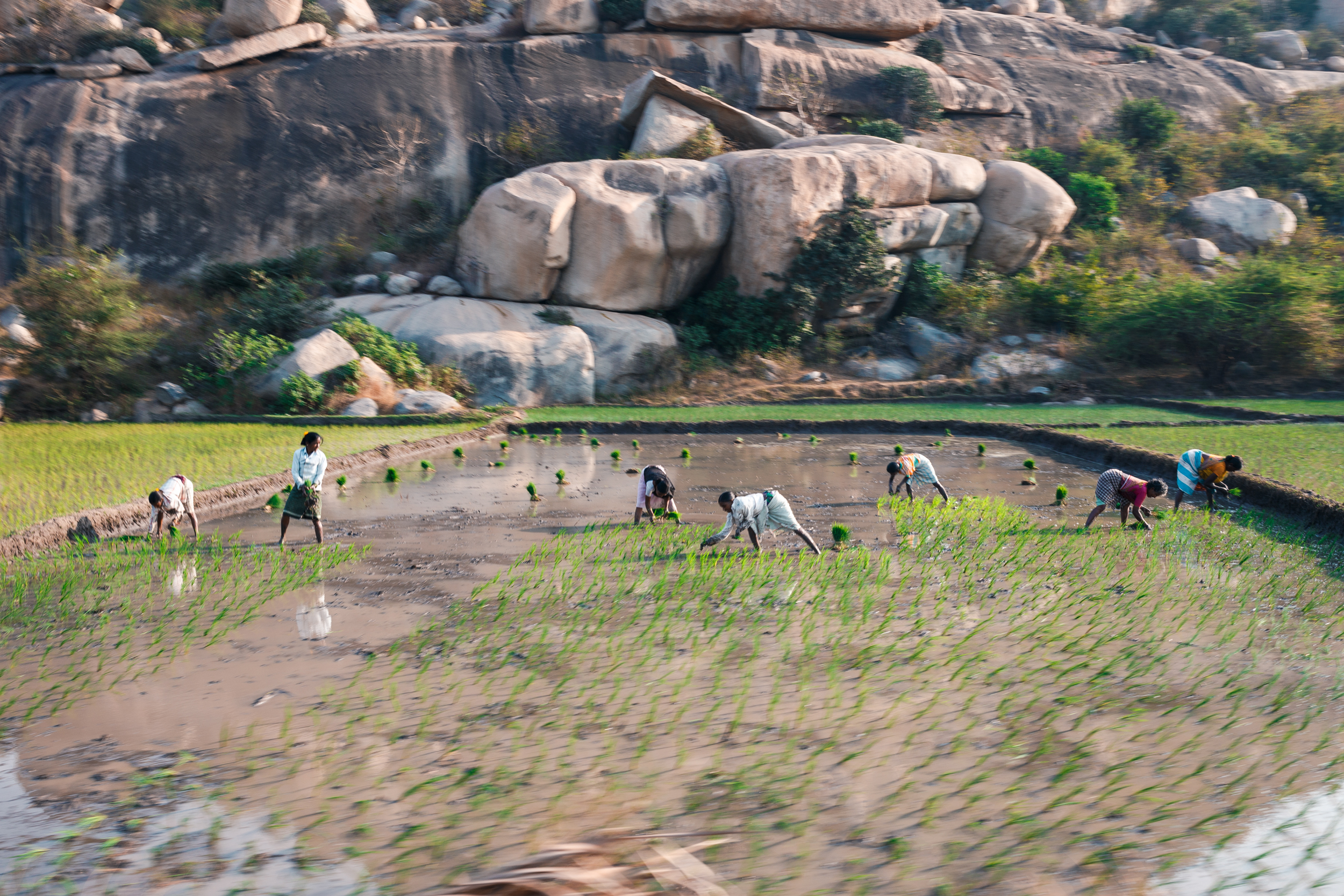 Workers harvesting rice in the paddies on Hampi Island.