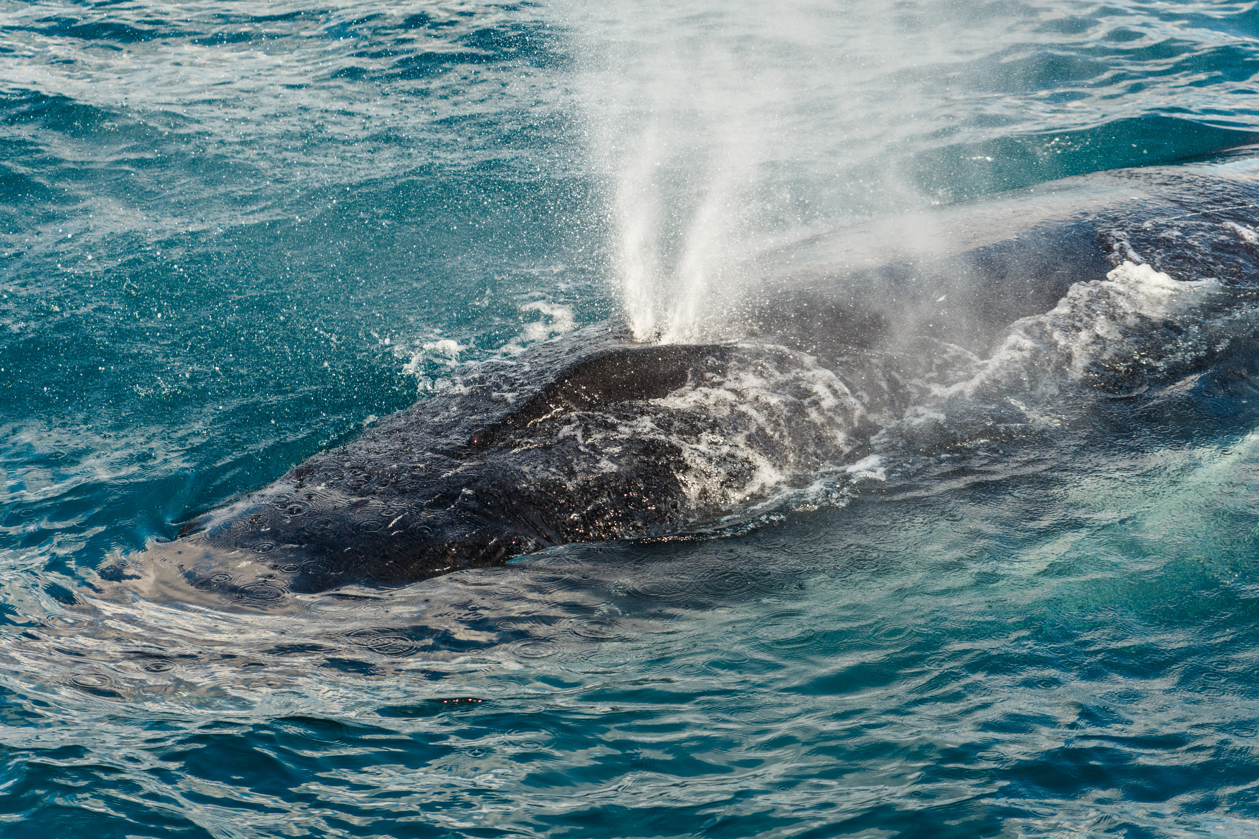 Blowhole spray from a humpback whale.