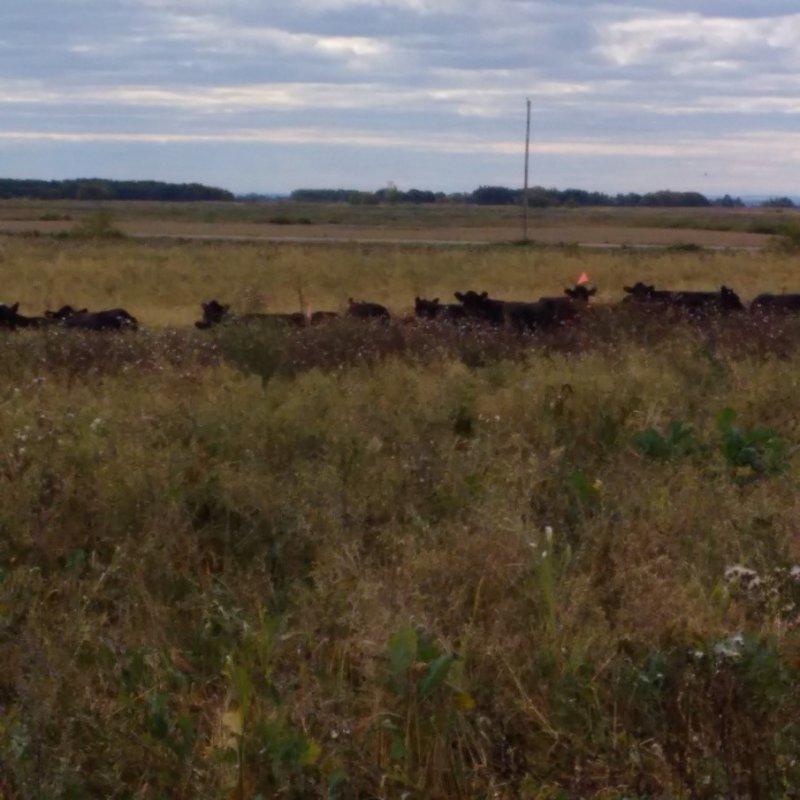 INT 2 Polycrop - Day 1 of cows grazing the polycrop Sept 13, 2016.jpg