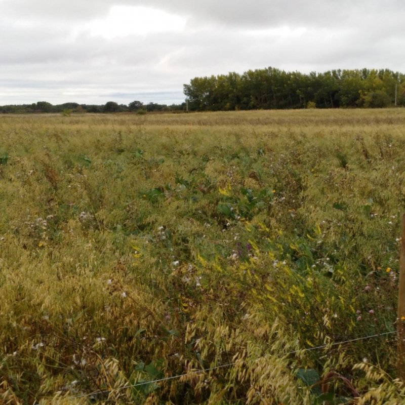 Polycrop forage just prior to grazing in September of 2016