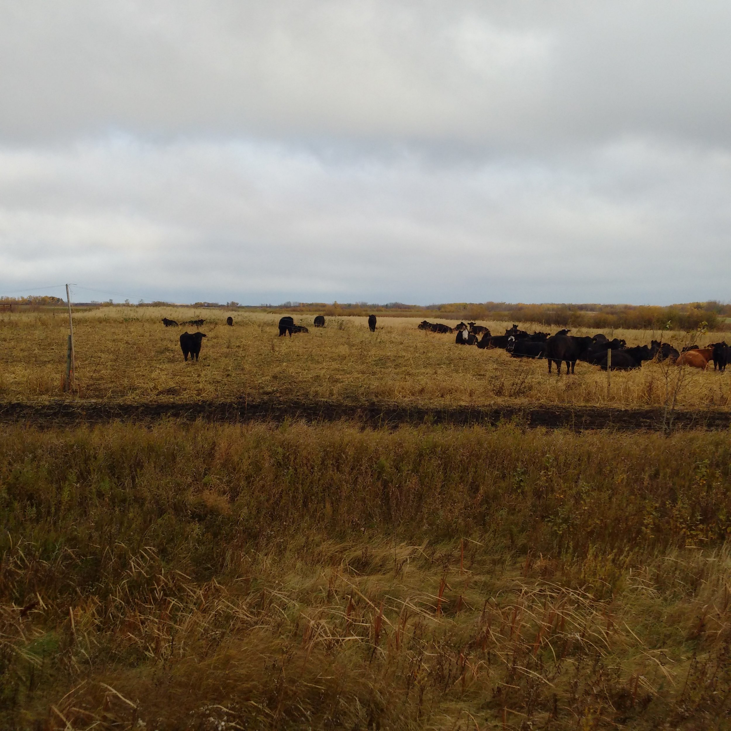 Day 1 of the cows grazing the polycrop on September 13, 2016