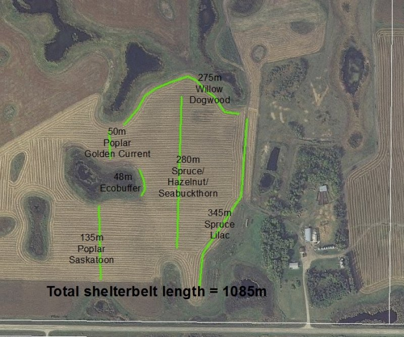 Shelterbelt design at the Brookdale Farm indicating the location of species and the length of rows (2016)