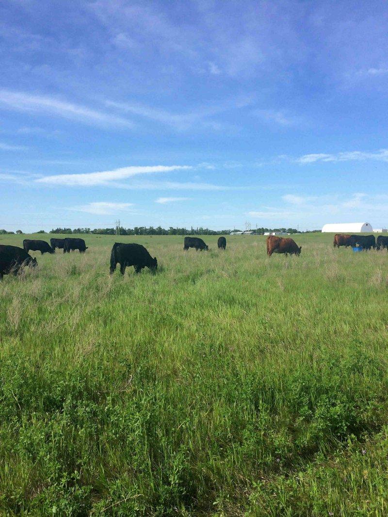 Cattle grazing in Paddock C