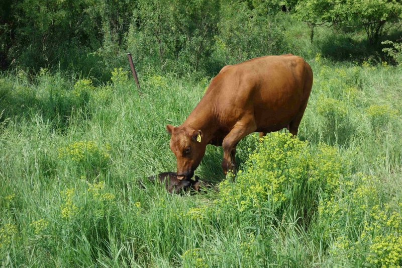 Cow 28 and her calf shortly after calving