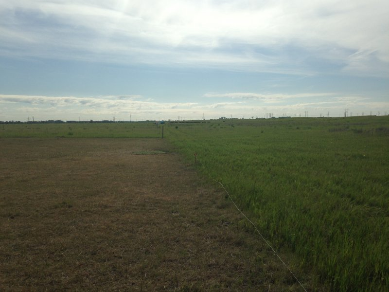 Cattle grazed the sod seeding plotto prepare it for seeding (June 2016)
