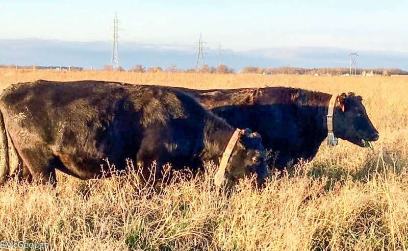 Cattle fitted with GPS collars