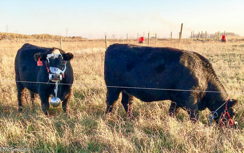 Cattle at the Johnson Research Farm fitted with methane balls