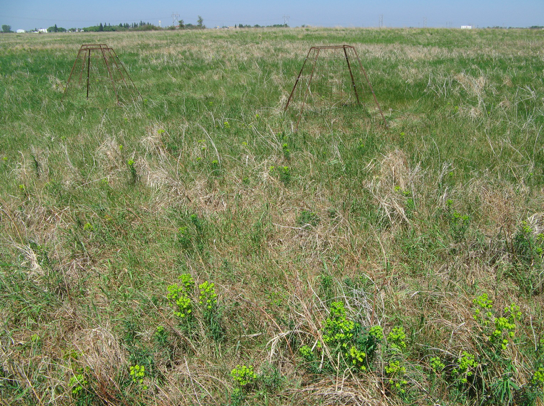 Mature leafy spurge plants as they appear in early June; photo by Mae Elsinger.