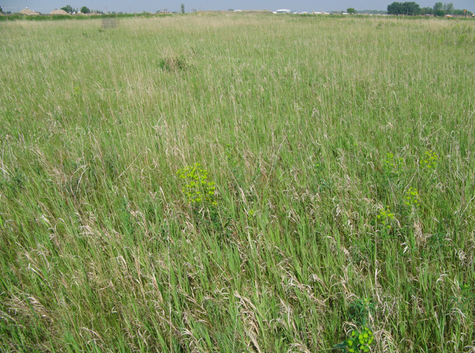 Leafy spurge distribution over much of First Street Pasture is thin enough to prevent rejection of use by cattle, June 2015; photo by Mae Elsinger.