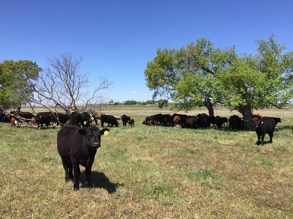 Cattle grazing in Paddock I on June 18, 2017