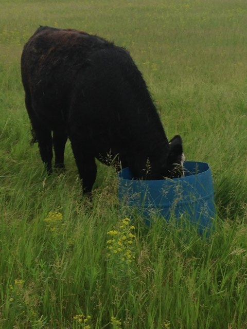 One of the heifers trys the leafy spurge mixture (June 2016)