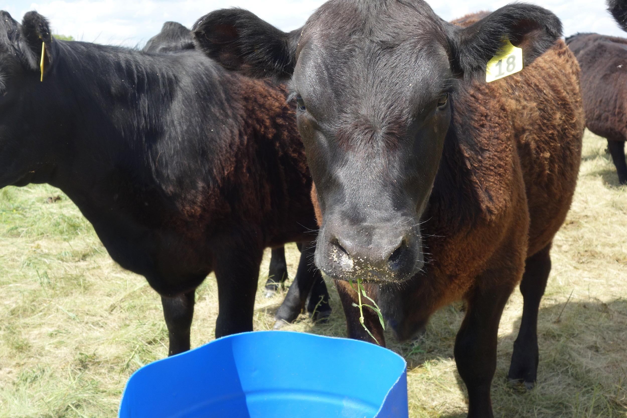 Heifer 18D Learning to eat leafy spurge