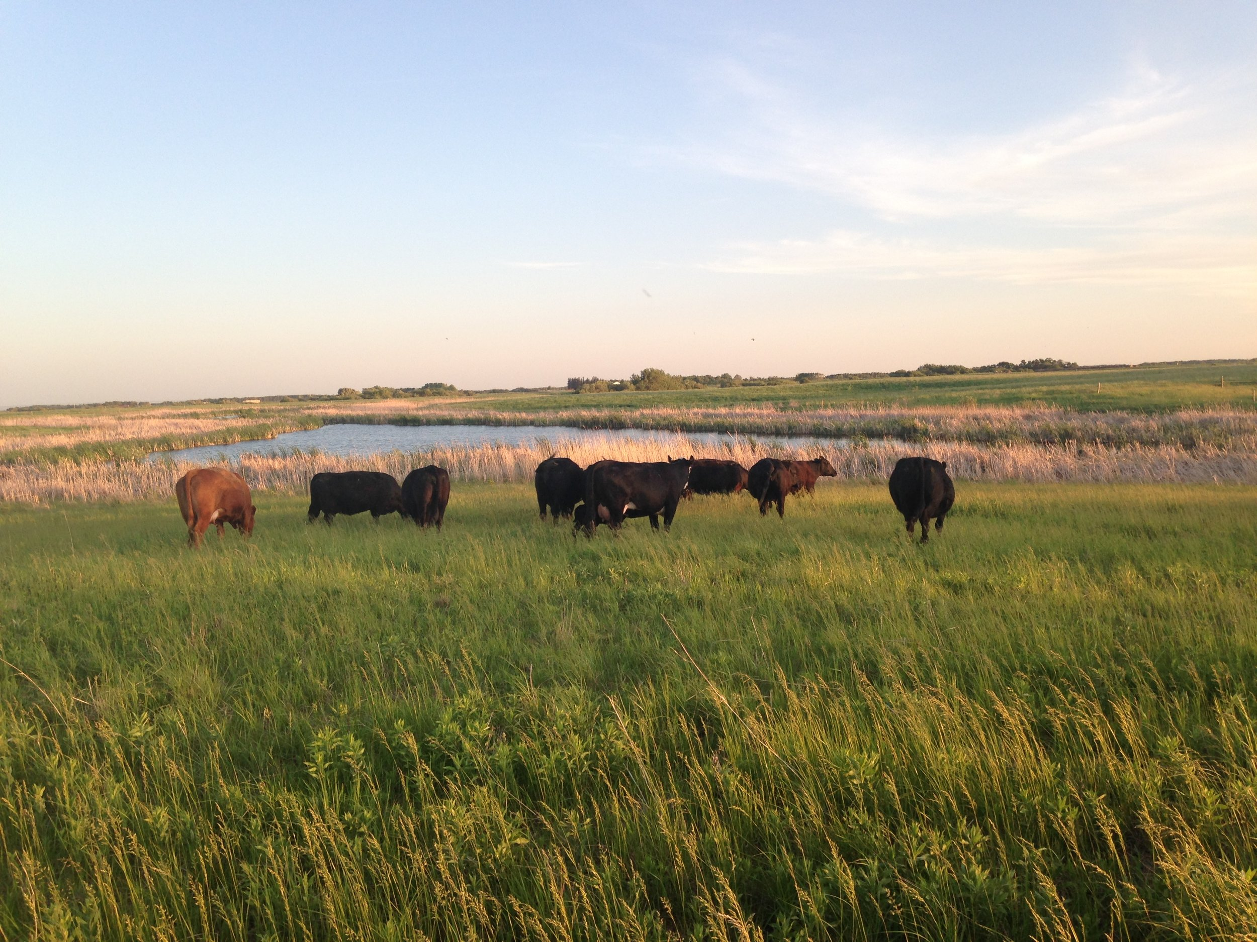 Cows grazing on summer pasture land at Brookdale 2016