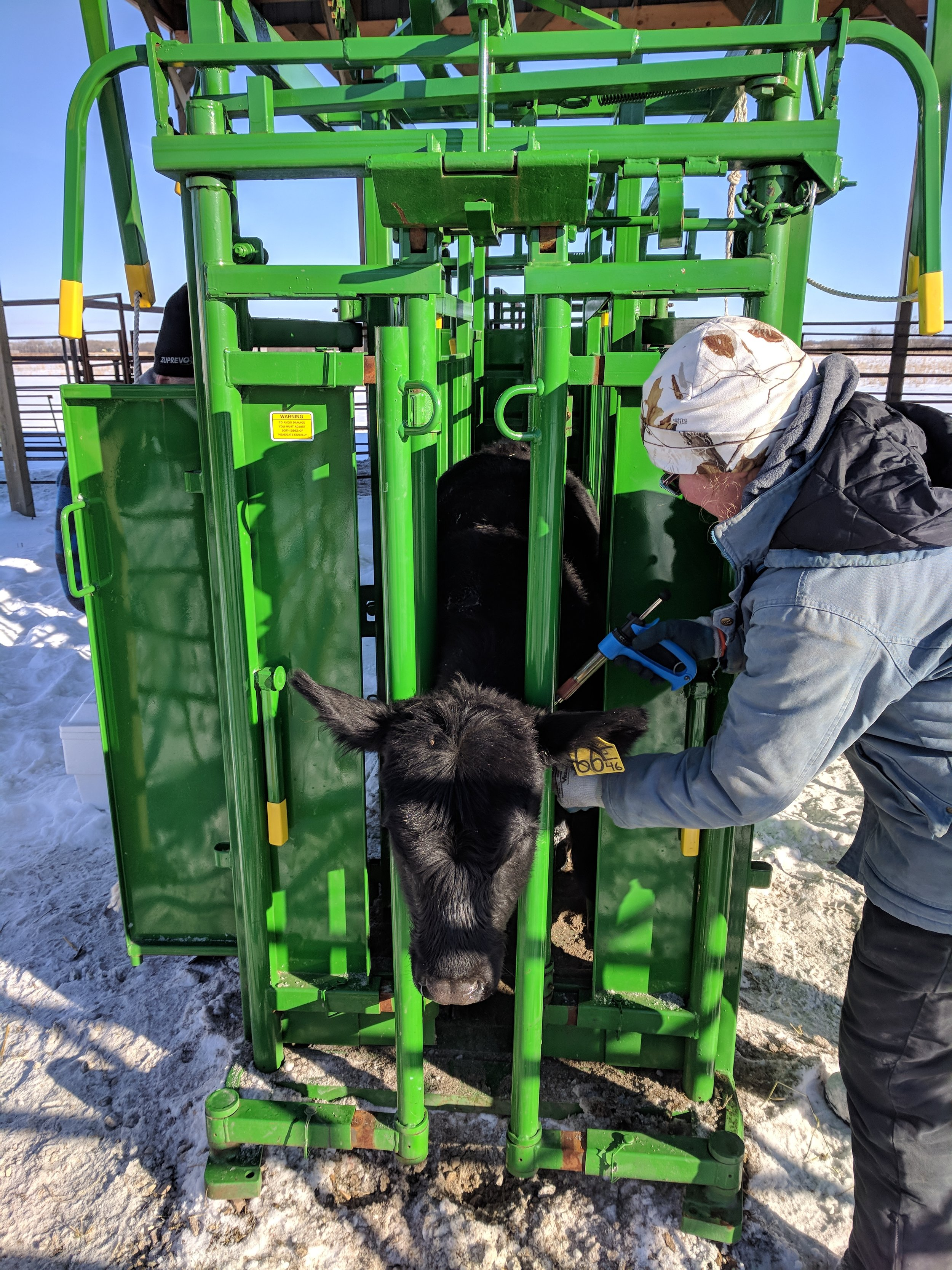 Vaccinating calves at Brookdale with Real Industries stationary handling system 2017