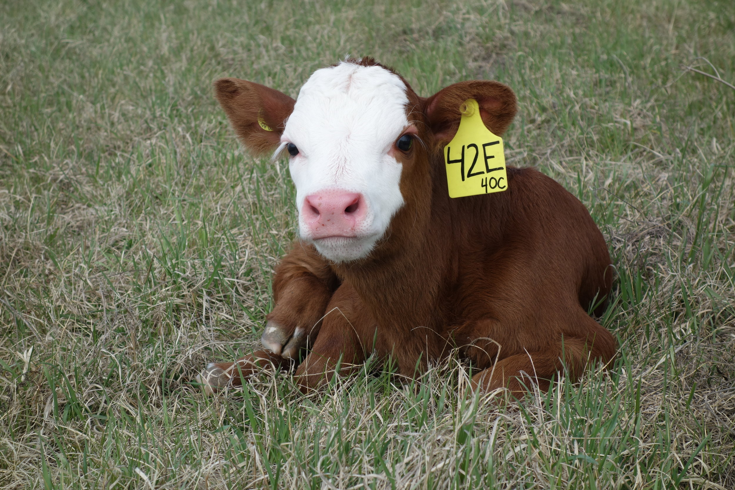 Two day old calf at the Johnson Farm 2017