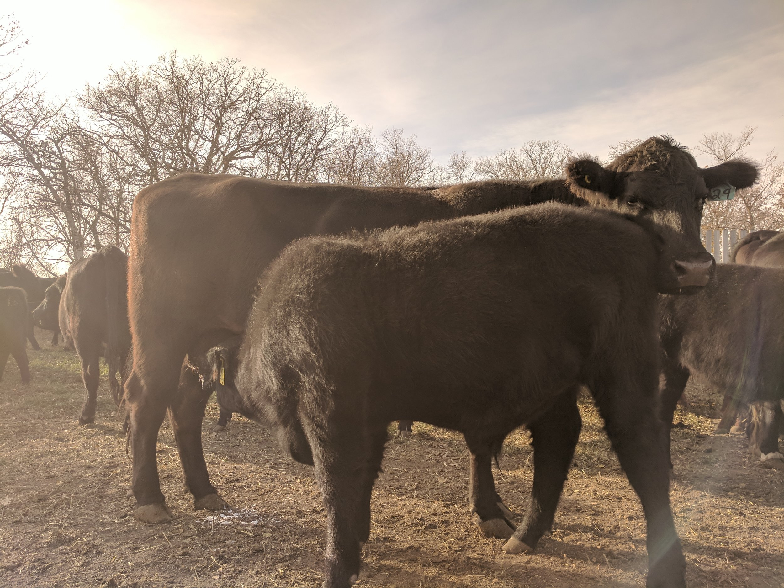 Cow calf pair at the Brookdale Farm during a weigh day 2017