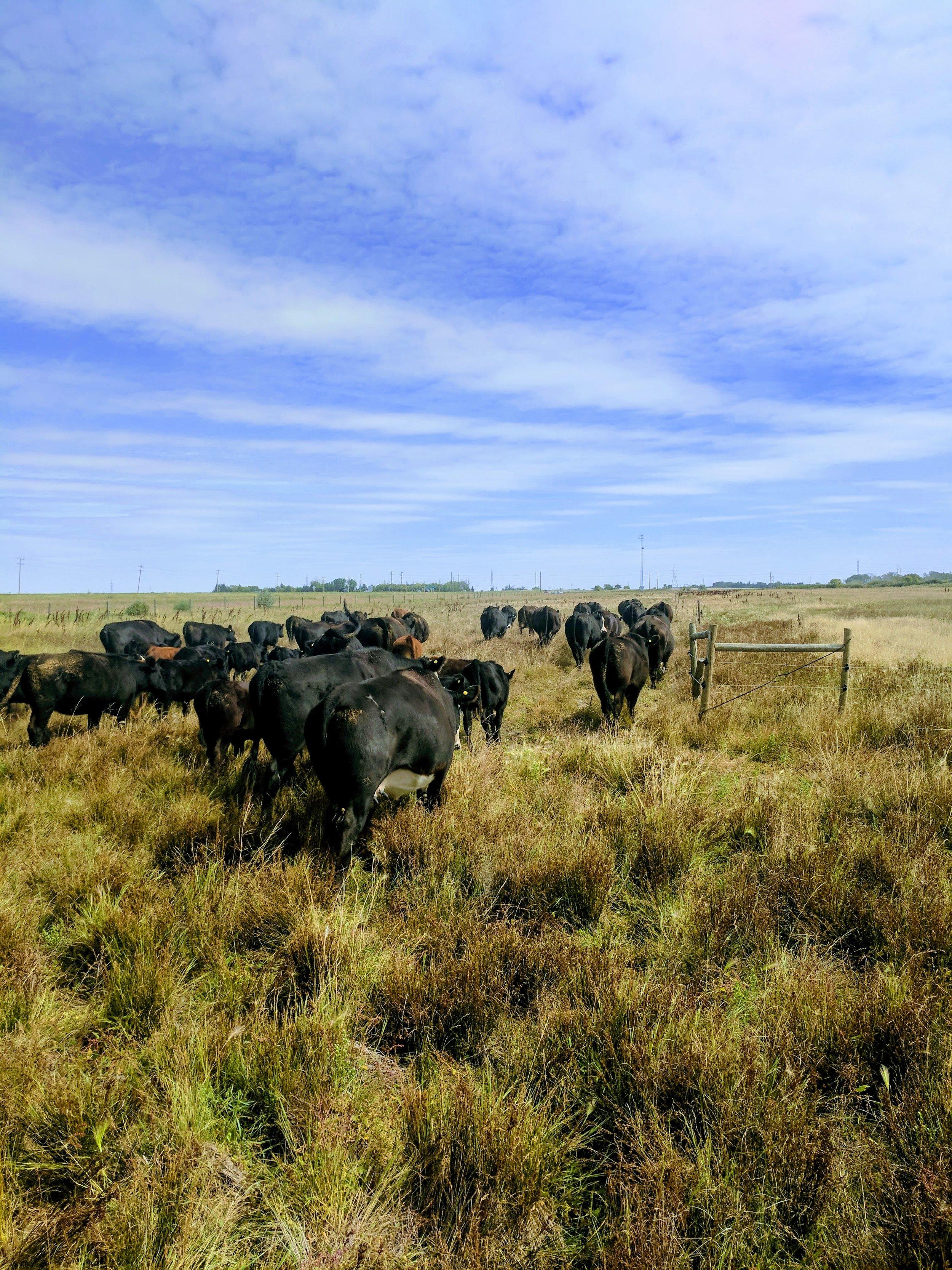 Cow calf pairs grazing at 1st Street Pasture 2017