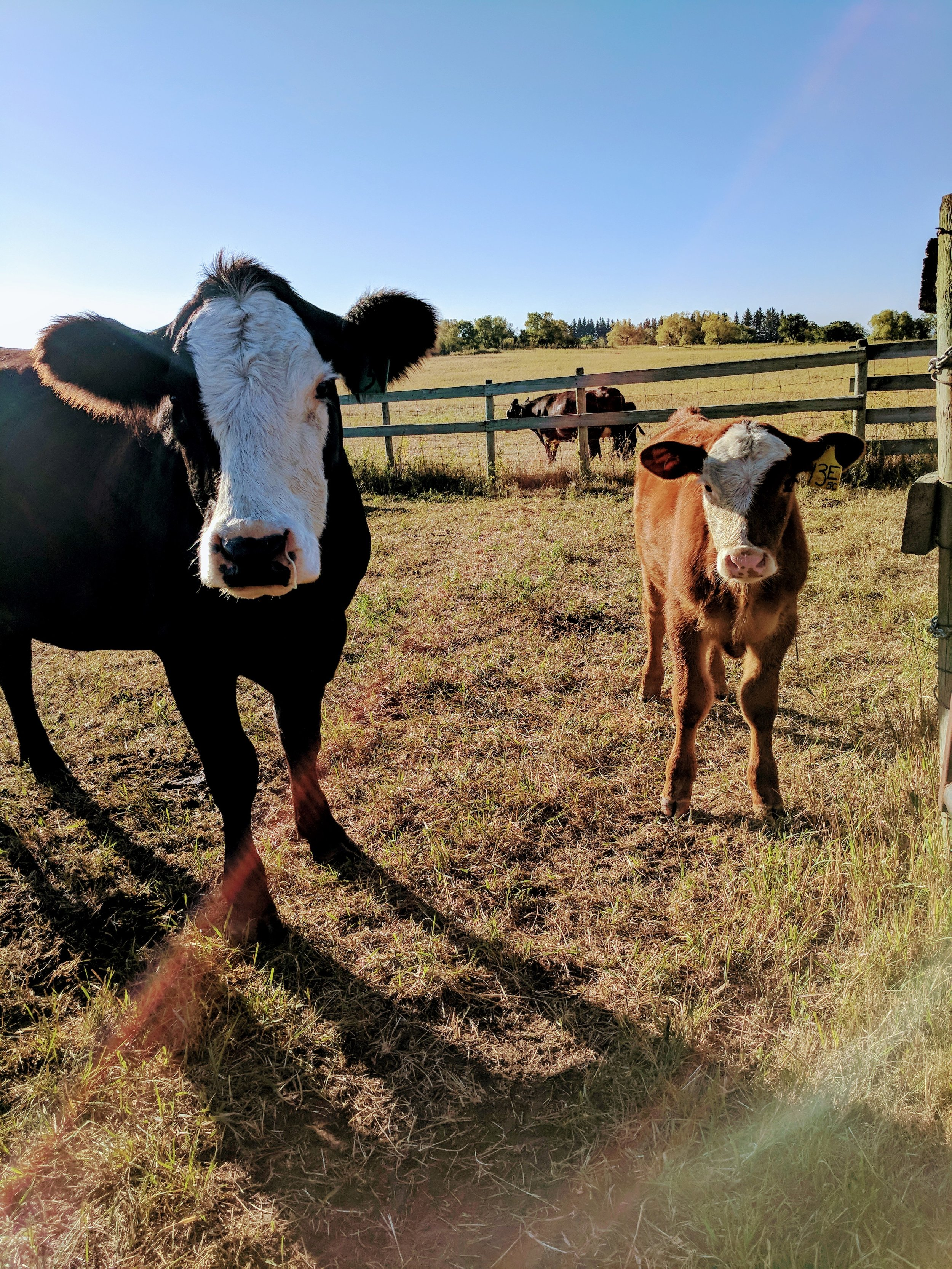 Cow calf pair at 1st Street Pasture during a weigh day 2017
