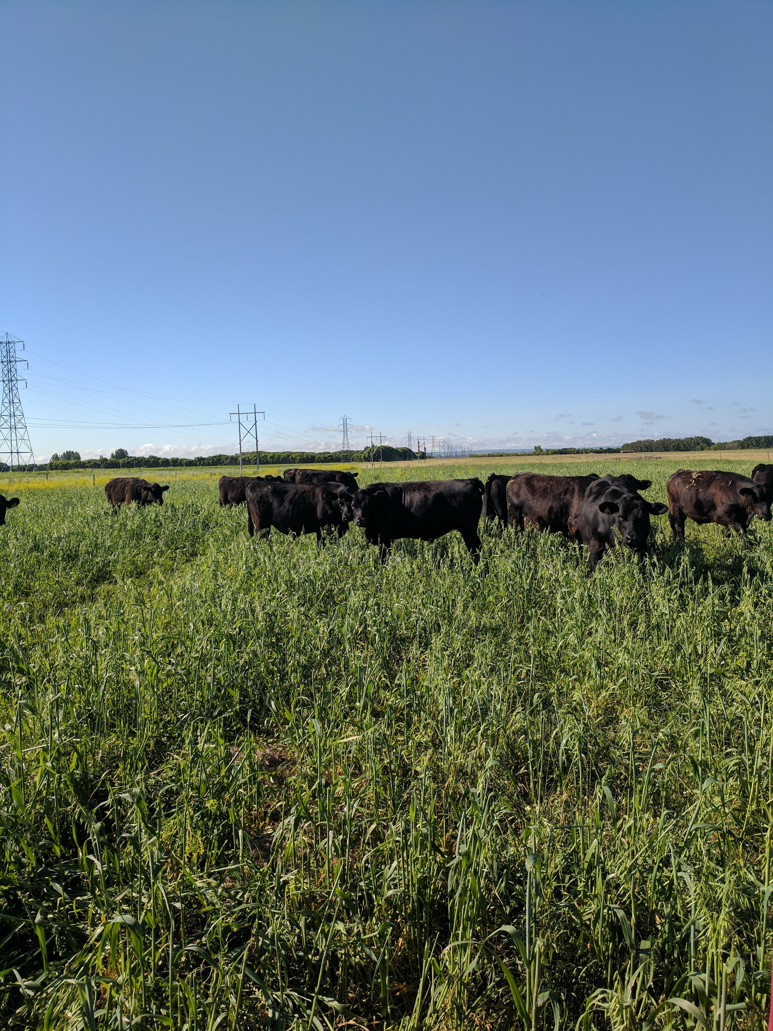 Yearling steers grazing polycrop at the Johnson Farm 2017