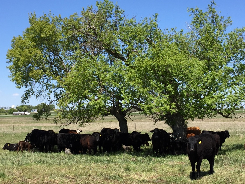Cattle on 1st Street Pasture under the shade of a tree 2017