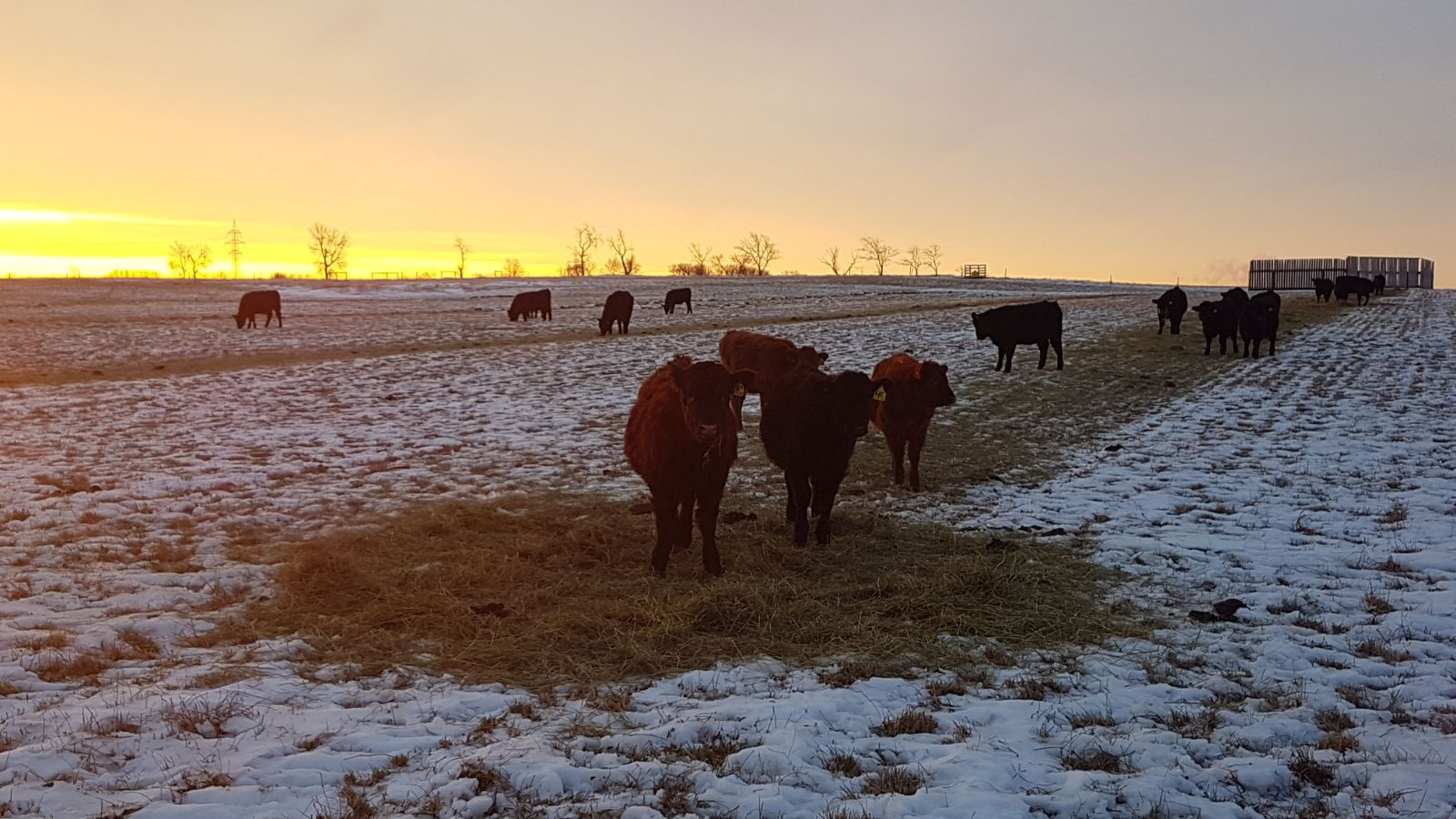Newly weaned calves grazing a rolled out bale at Johnson Farm 2018