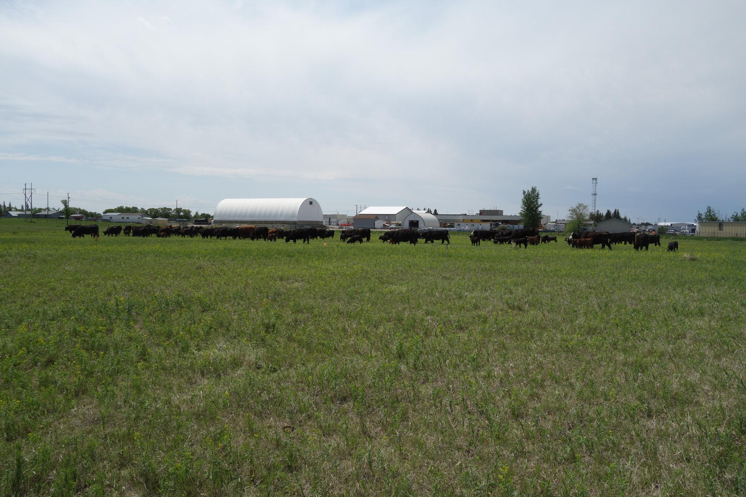 Alfalfa mob grazing project at 1st Street Pasture