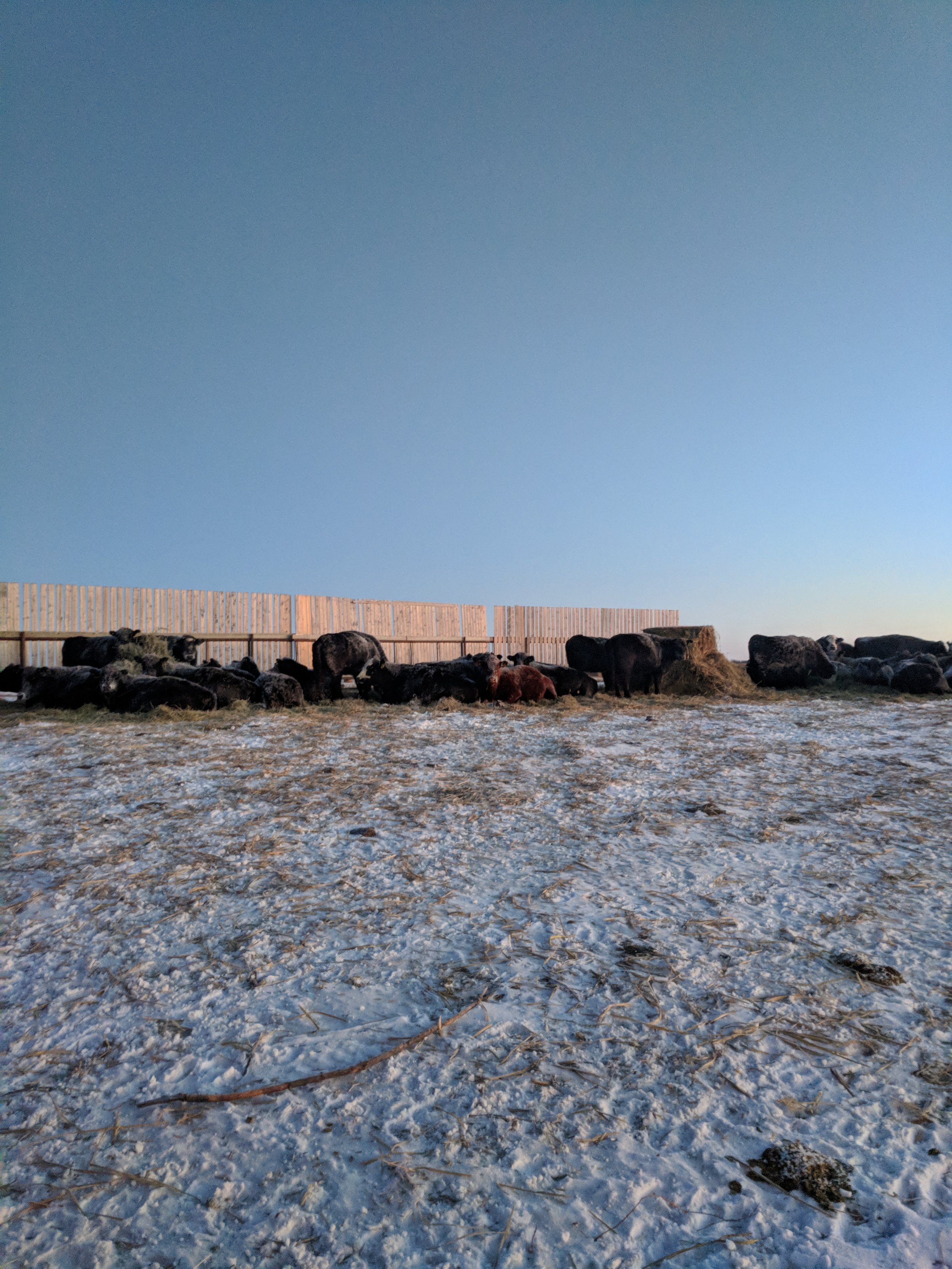 Cattle bale grazing at the Brookdale Location on the Extensive Winter Grazing Project