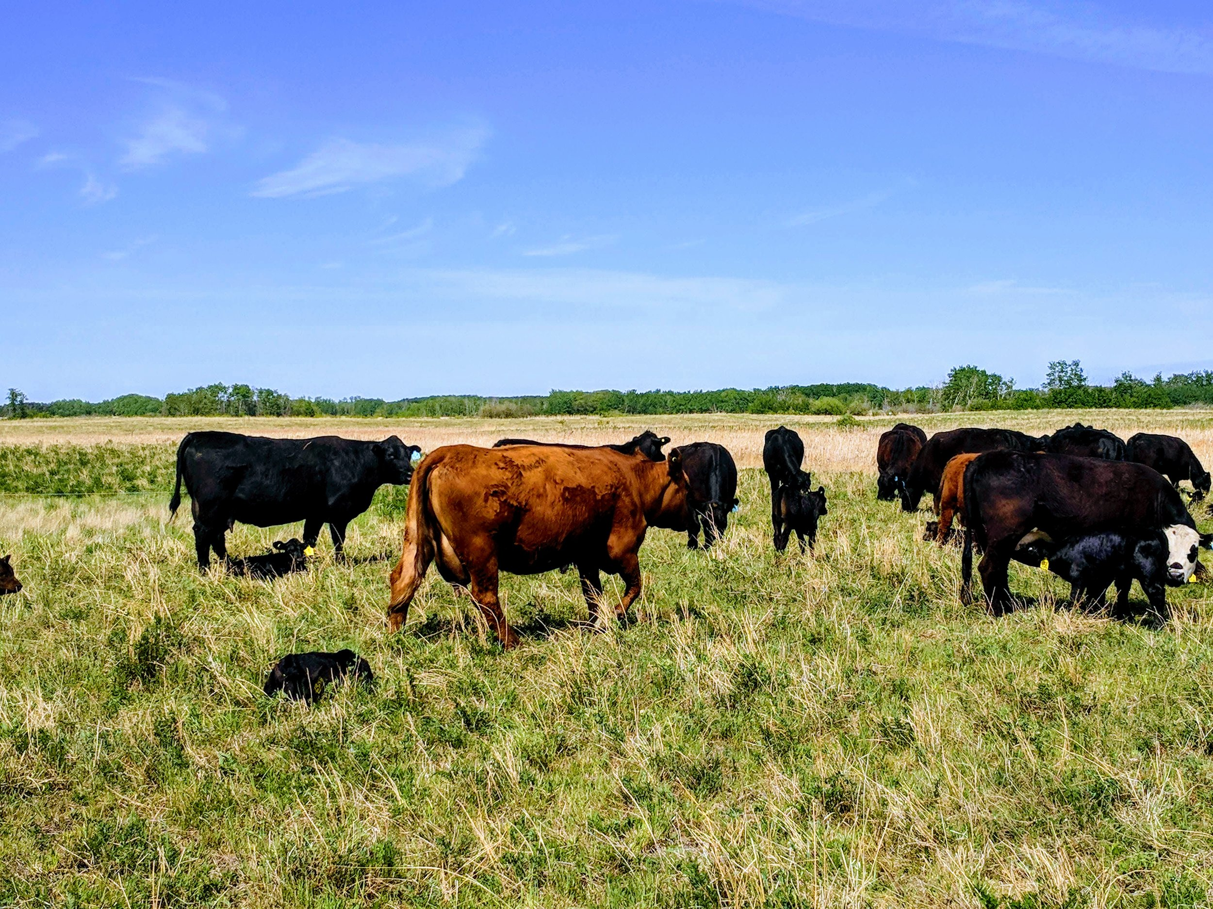 Cattle grazing on the planned vs continuous grazing at Brookdale 2018