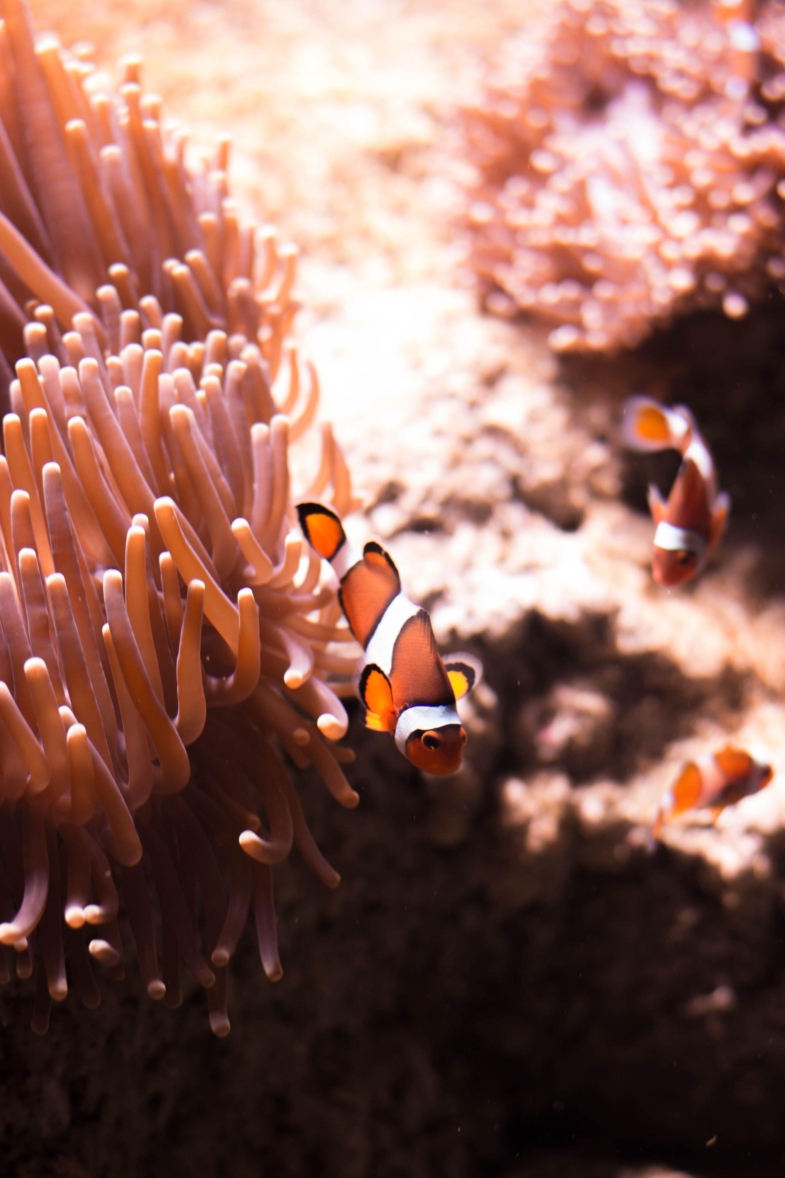 clown fish swimming through coral