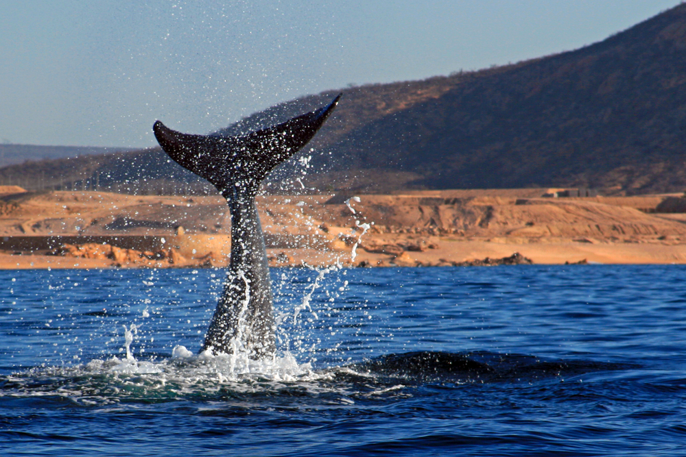 whale tail in the blue waters of Baja