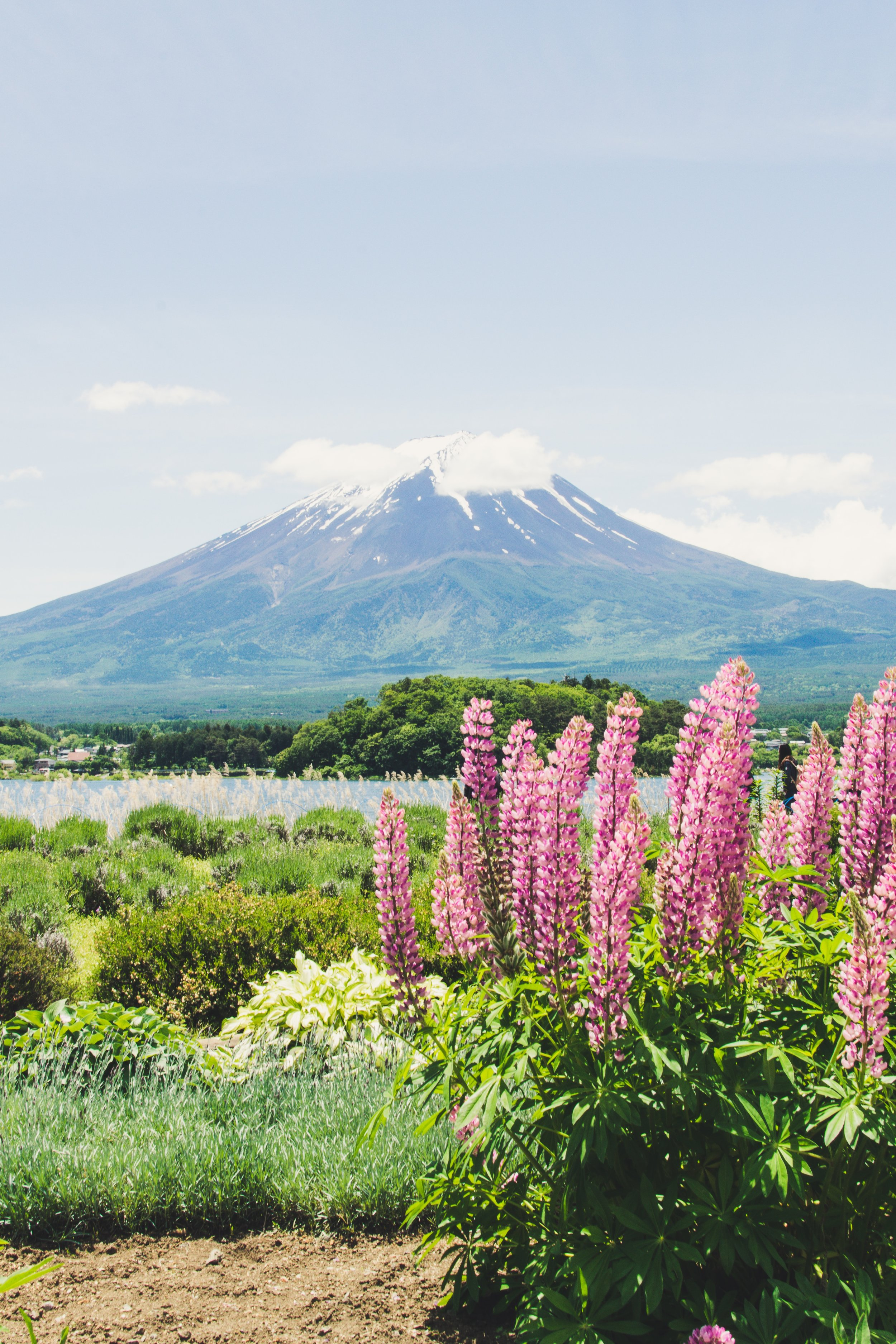 Mount Fuji with pink flowers in the foreground