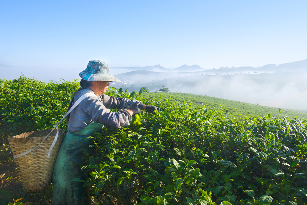 woman working in the green fields of the chinese countryside