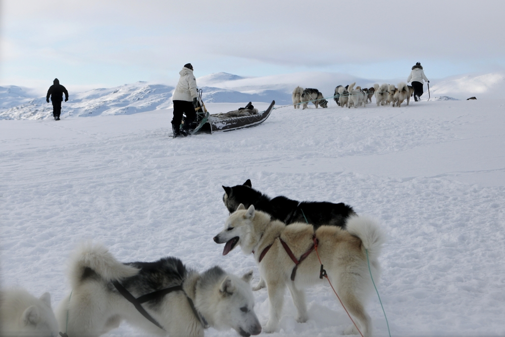 Greenlandic sled dogs near Sisimiut in Greenland