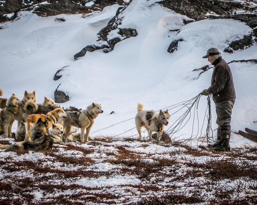 A Greenlandic man tethers a team of Greenland husky dogs in a snowy landscape near Ilulissat in West Greenland