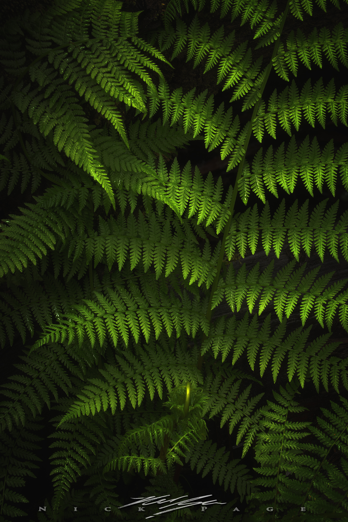 dark-ferns.jpg