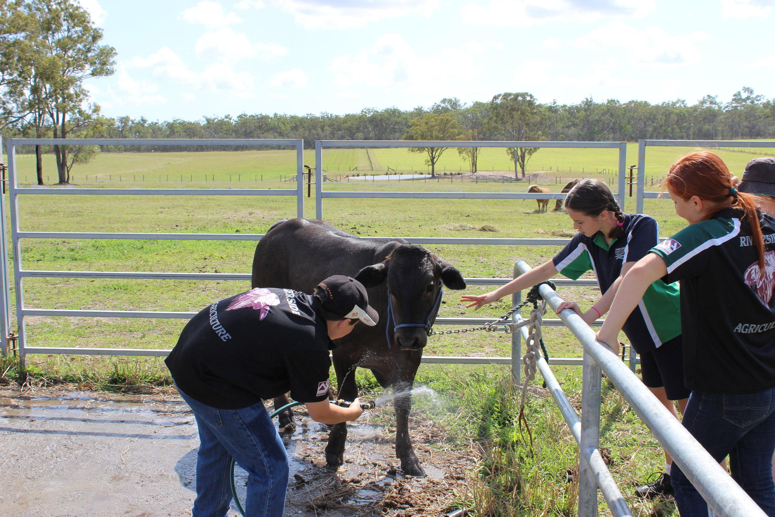 Com & rec cows.JPG