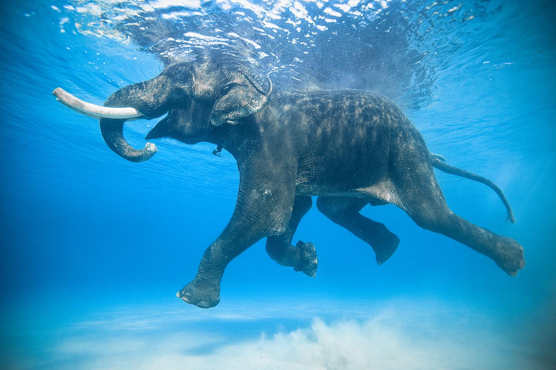 Jody MacDonald elepehant swimming in India
