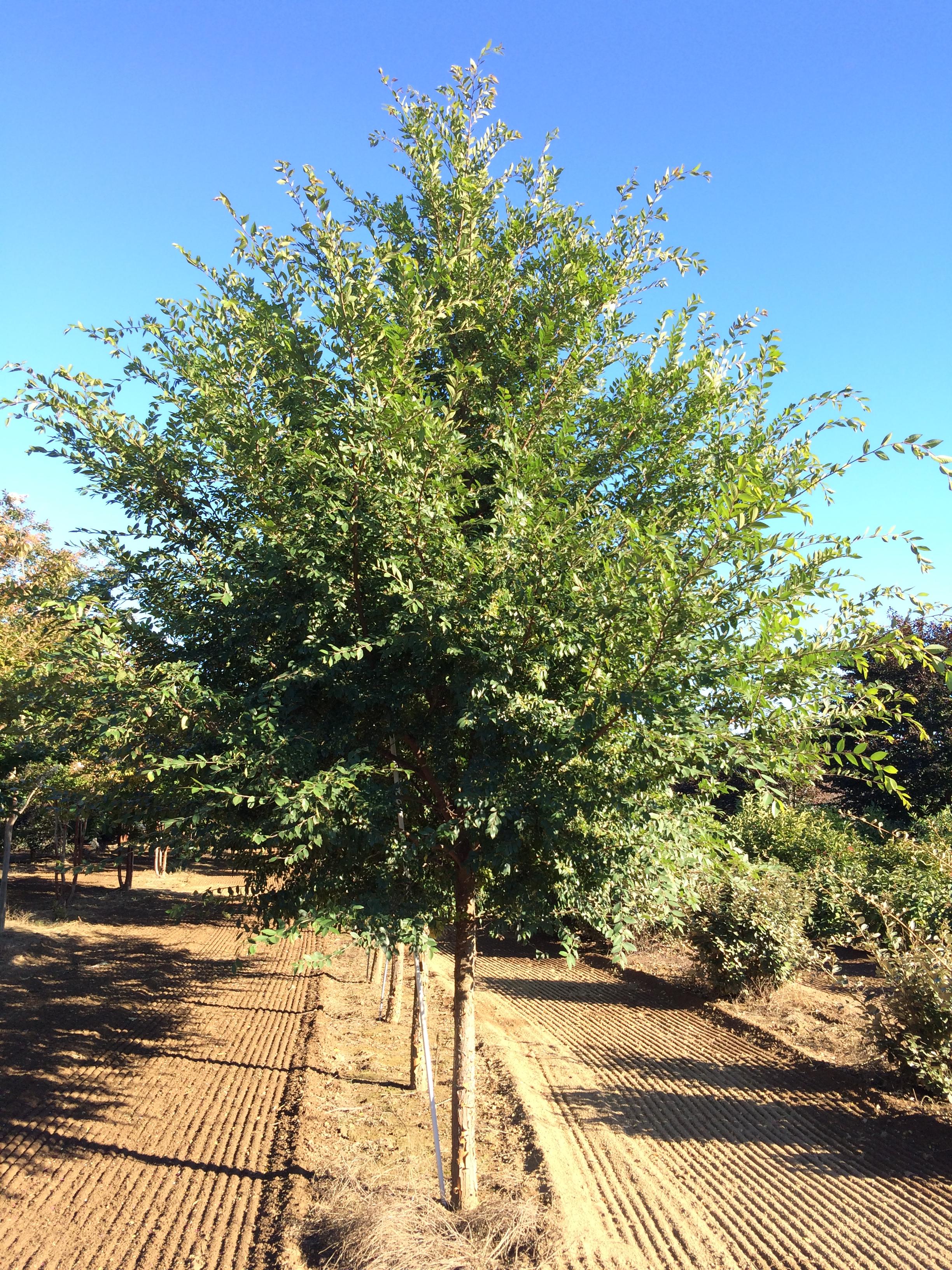 Ulmus parvifolia 'Allee'