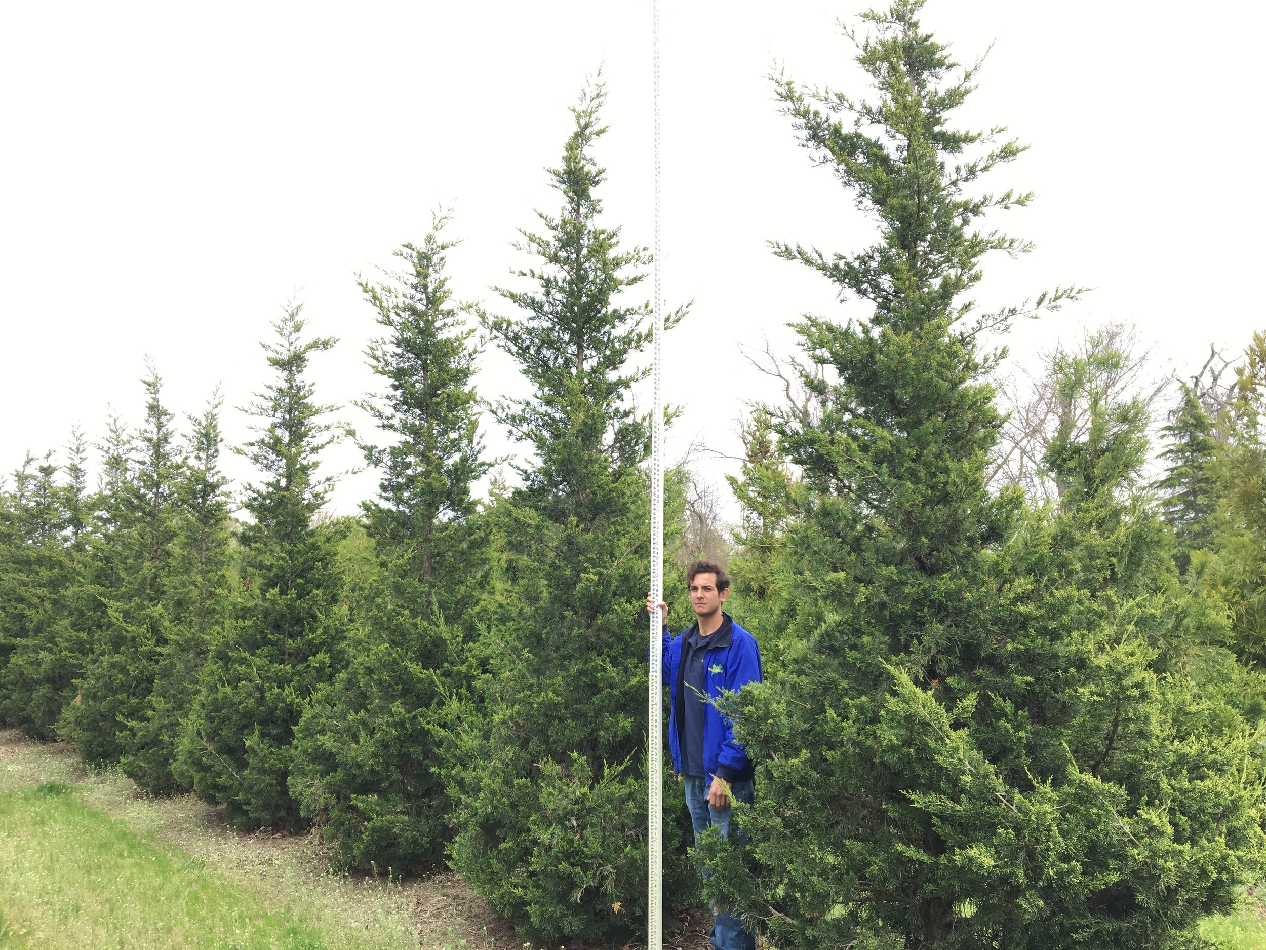 Juniperus chinensis 'Hetzii Columnaris'