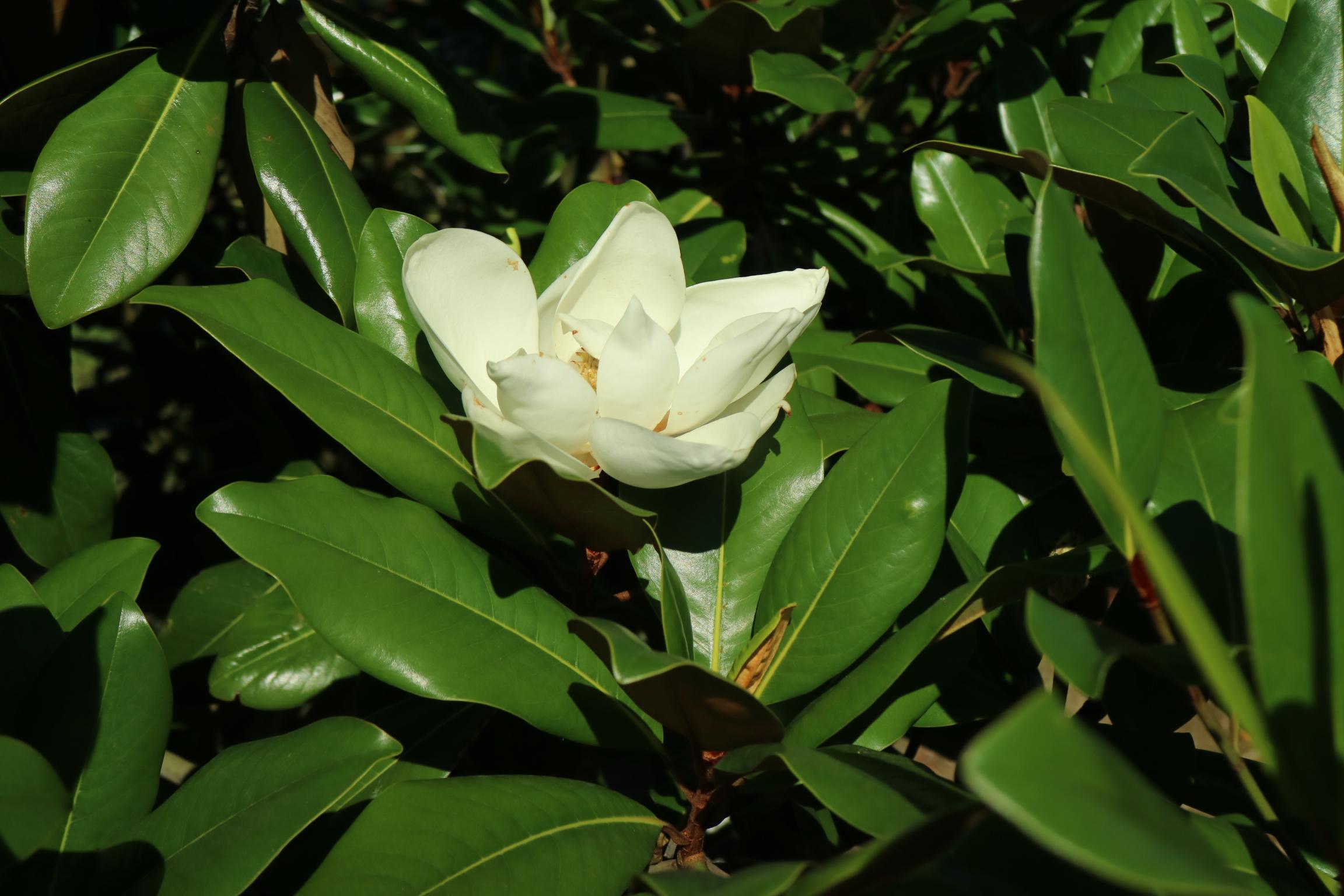 Magnolia grandiflora 'Edith Bogue'